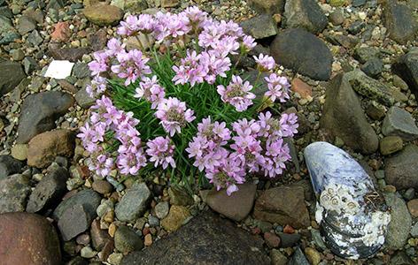 scozia fiori spiaggia 062