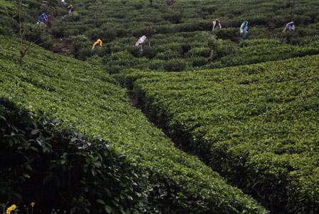 Coltivazioni di té a nord di Kandy.