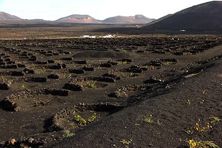 La Geria. Coltivazioni di uve nella lava, protette da muretti a semicerchio.