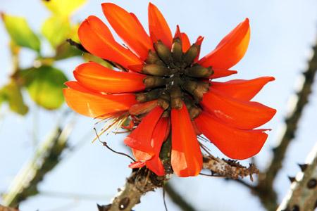 fiore esot aranc