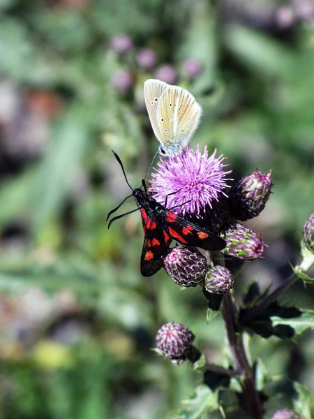 farfalle-sui-fiori