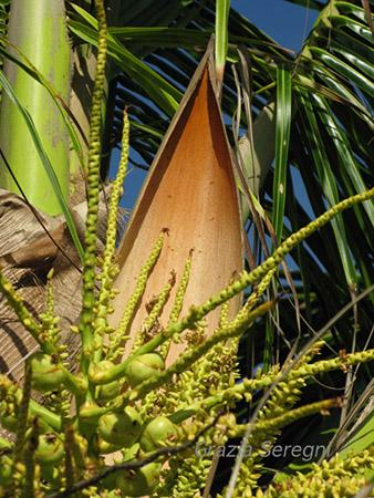 Brasile, il frutto di una palma