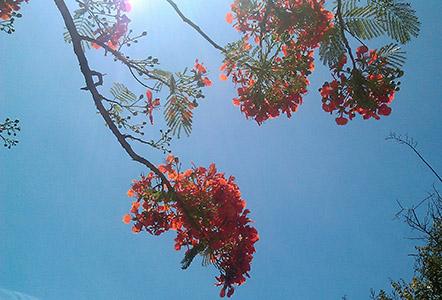 Brasile, fiori di Flamboyant.