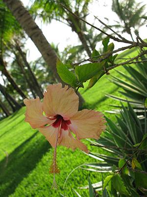 Brasile-ibiscus-giallo-rosa