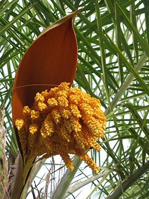 Fiore di una palma.