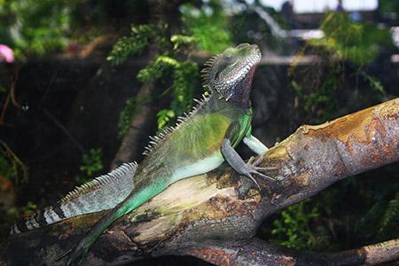 Londra, acquario, iguana