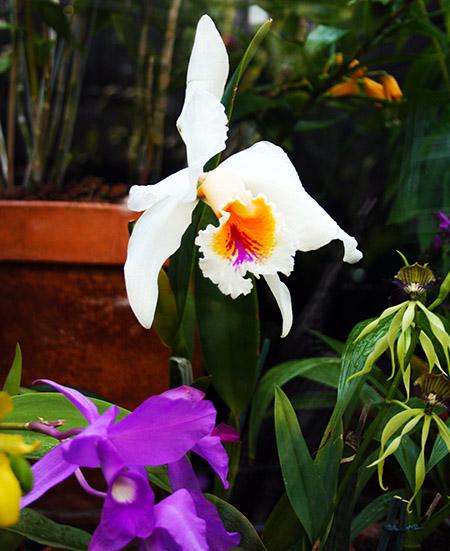 londra orchid biancIMG_6906