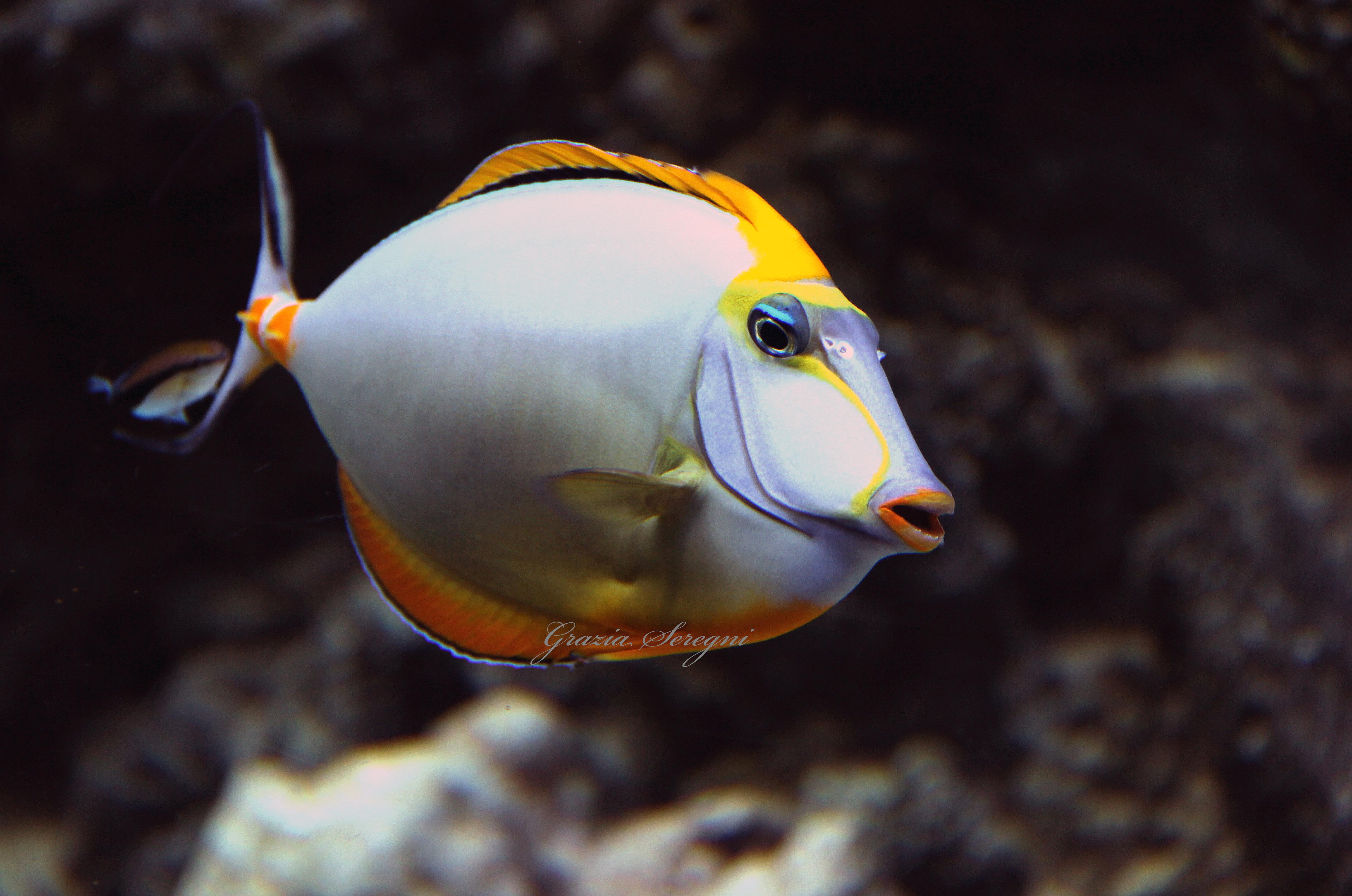 Pesci rari donnecultura for Pesci acquario