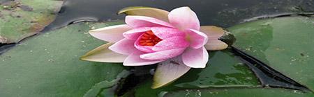 fiori ninfearosa