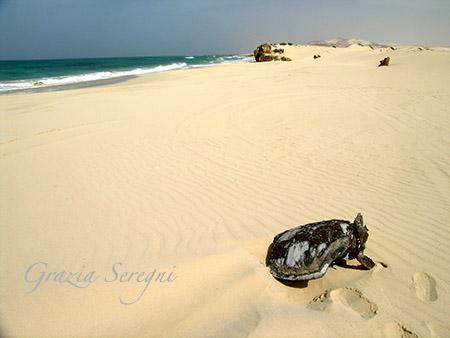 Boa Vista spiaggia Verandiha tartaruga piccola