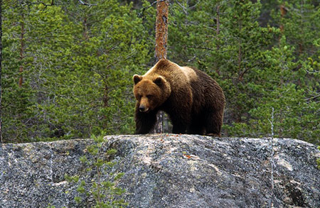 hakan_vargas_s-brown_bear-2045