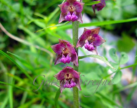 CH orchidea viol mIMG_6290