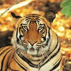 INDIA TIGRE ANIMALI 1121x50d303270f8