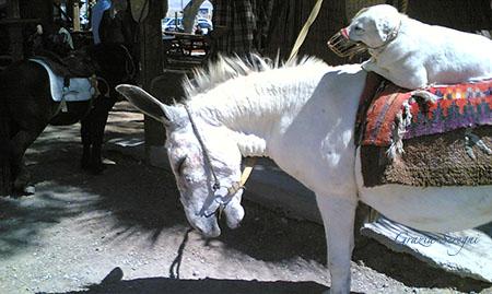 ASINO 450 cane animali bv