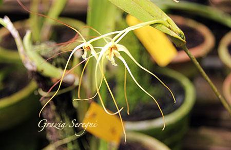Bali orchidee fiori rara 1zx
