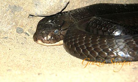 Bali Cobra Reale n1
