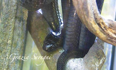 Bali Spitting Cobra x