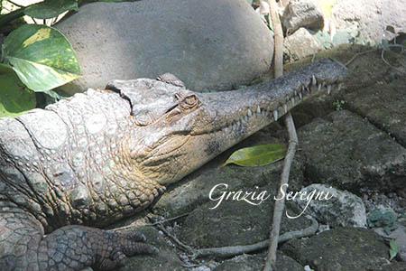 Bali coccodrillo testa animali b