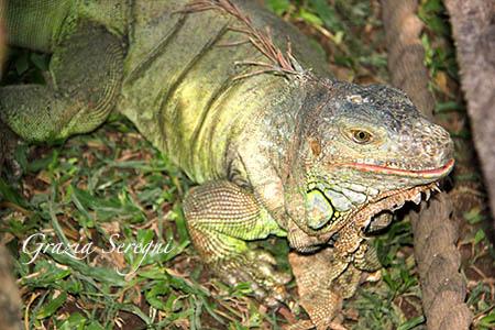Bali iguana animali s