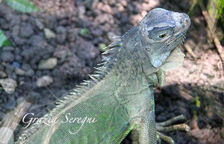 Bali iguana animali verde s