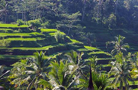 Bali risaie c