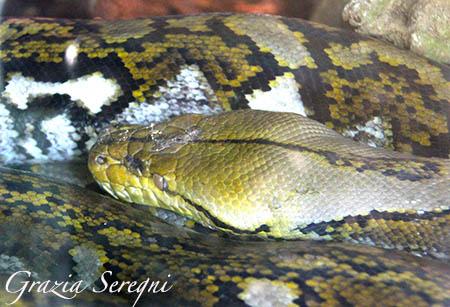Bali serpente Burmese Rock Piton