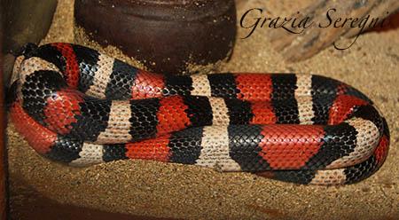 Bali serpente Milk Snake Apricot Pueblan rosso