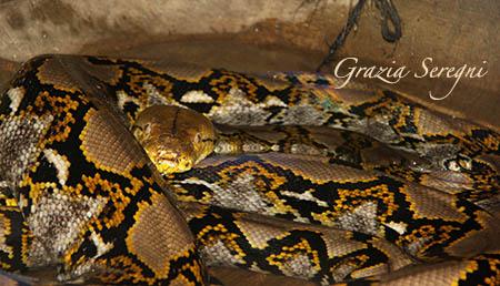 Bali serpente Pitone Reticolato trovato di 10 metri