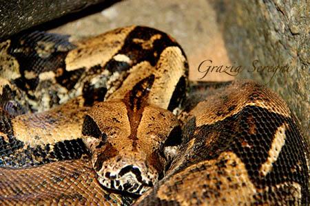 Bali serpente Surinam Red Tail Boa Conscrictor