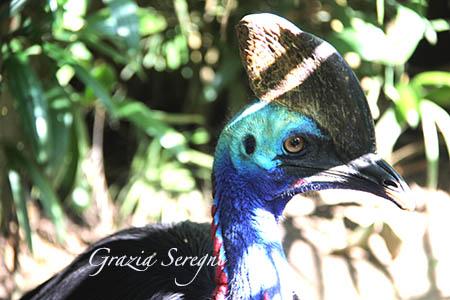 Bali  uccello Kasuarius unappendiculatus