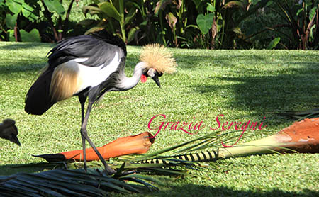 Bali uccello raro 2w