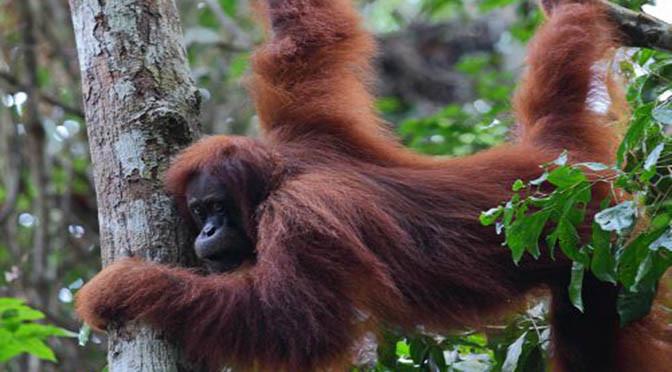 Ecologia – 31 esperti internazionali lanciano un appello – estinzione dei primati ?