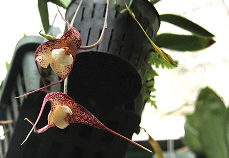 PANAMA orchidee  fiori Dracula vampira IMG_0693