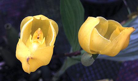 PANAMA orchidee  fiori IMG_0703