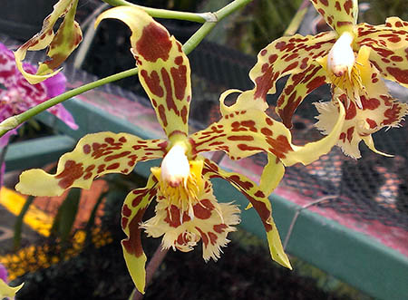 fiori 450 orchidee ok