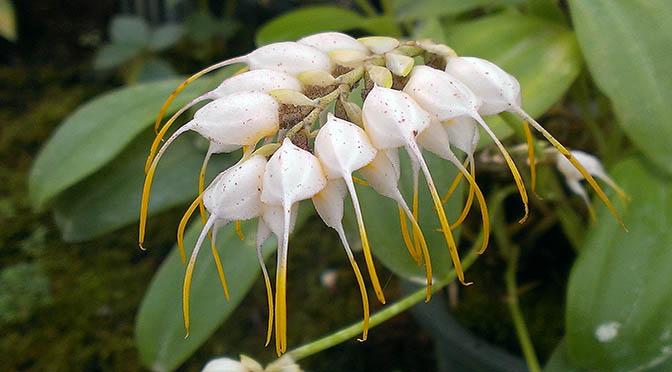 fiori 672 orchidee asc