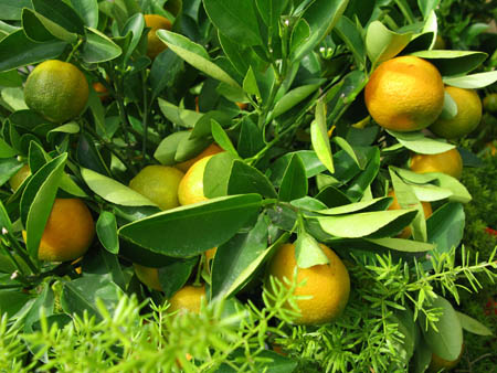 Catania giardini botanici limoni 450 khg piante