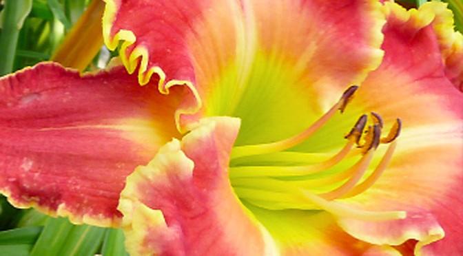Fori anche per chi non ha proprio il pollice verde – Hemerocallis
