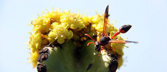 Cactus fiorito e insetto. Jardin de Cactus a Guatiza.