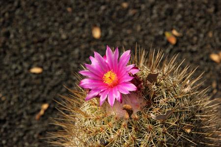 Cactus dei Giardini dei Cactus (Jardin de Cactus).