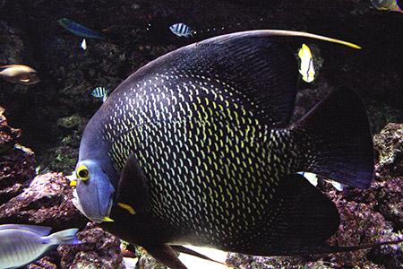 ANIMALI pesce reef viola