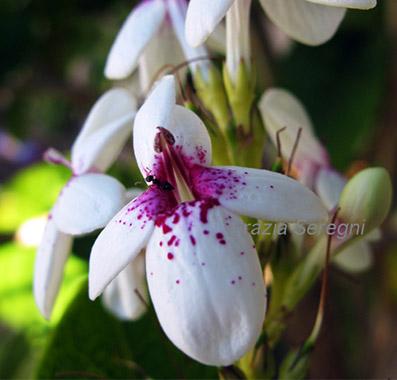 fiori orchidea brasil