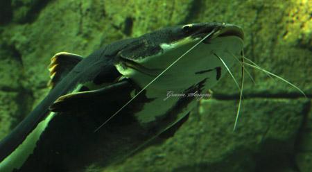 Copenaghen acquario nuovissimo e straordinario for Pesce gatto acquario
