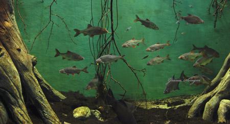 Pesci rari donnecultura for Pesce pulitore acqua dolce fredda