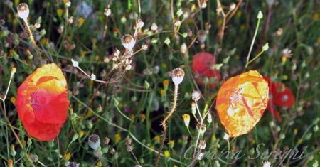 umb fiori papaveri luce okok