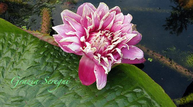 Fiore ninfea Grazia ok 672