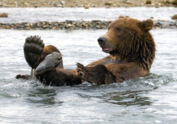 Animali orso