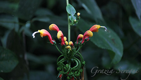 PANAMA 450 fiori IMG_0458