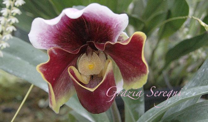 PANAMA 672 orchidee fioriIMG_0729