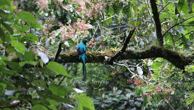 PANAMA 672 quezal uccello IMG_0469